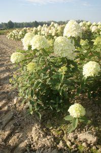 hydrangea paniculata kopana z gruntu